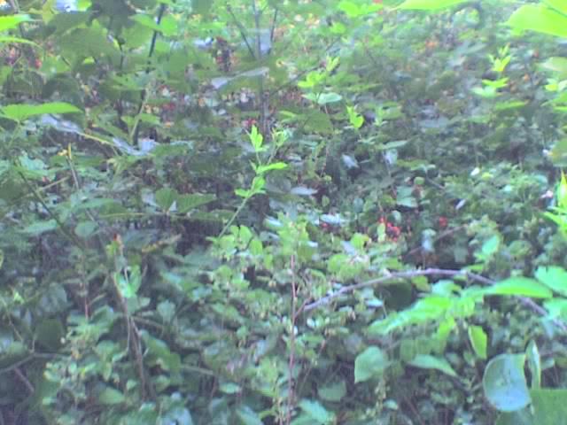 Black berry jungle