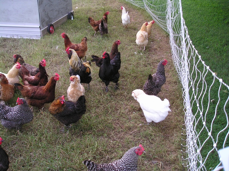 Hens ready to move to fresh pasture